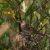 Сверчок обыкновенный — Locustella naevia