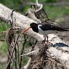 Кулик-сорока — Haematopus ostralegus