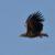 Орлан-белохвост — Haliaeetus albicilla