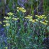 Цмин песчаный — Helichrysum arenarium