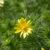 Адонис весенний — Adonis vernalis