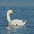 Лебедь-шипун — Cygnus olor