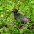 Дятел чёрный — Dryocopus martius