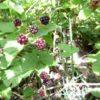 Куманика — Rubus nessensis