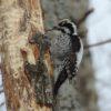 Дятел трёхпалый — Picoides tridactylus