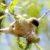 Ремез обыкновенный — Remiz pendulinus