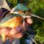 Зимородок обыкновенный — Alcedo atthis